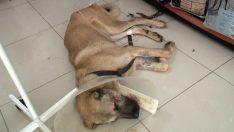 (ÖZEL) Silahlı saldırıya uğrayan köpeğin yaşam mücadelesi devam ediyor
