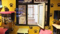 Bu pansiyonda kediler kalıyor
