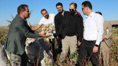Diyarbakır'da pamuk hasadı etkinliği