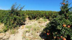 Samsat'ta nar üretimi arttı